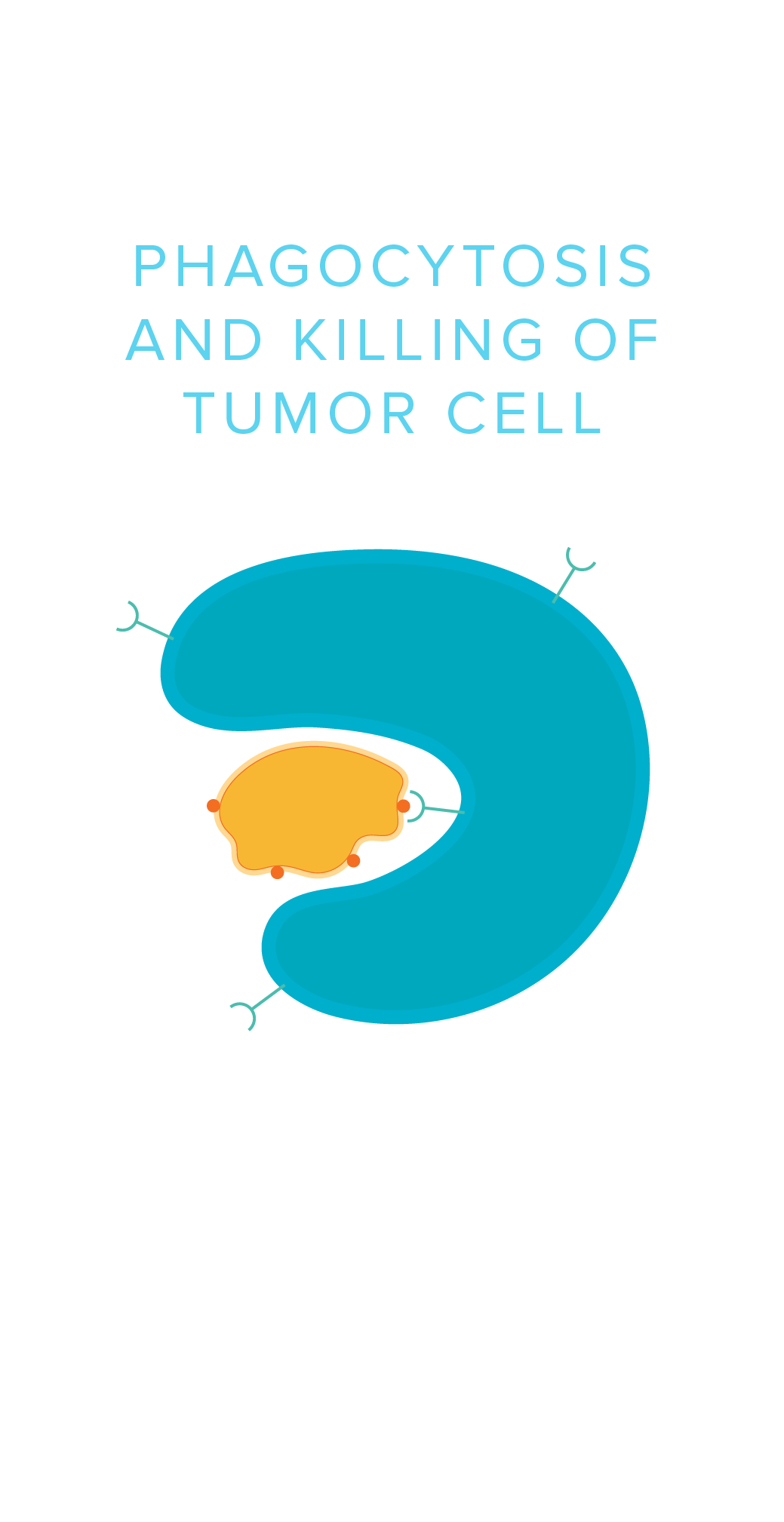 Phagocytosis and Killing of Tumor Cell