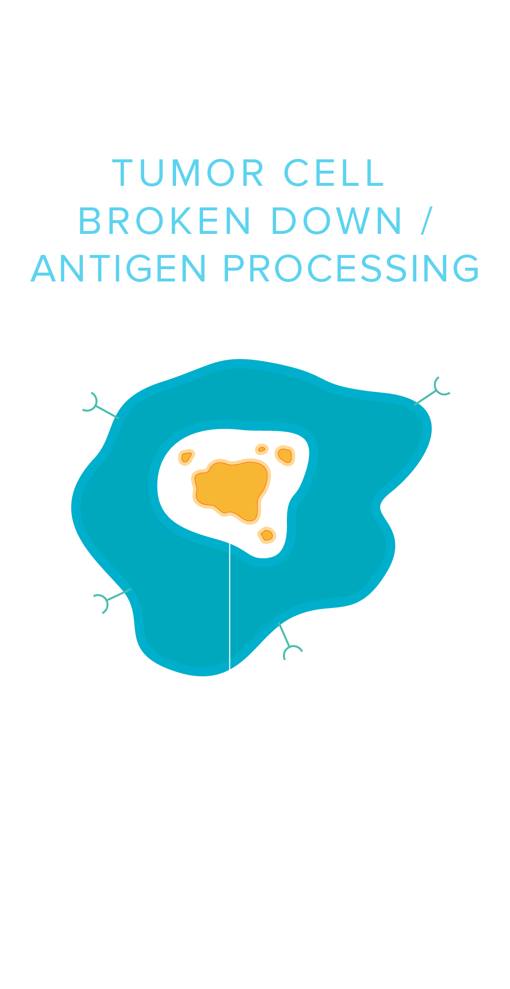 Tumor Cell Broken Down / Antigen Processing